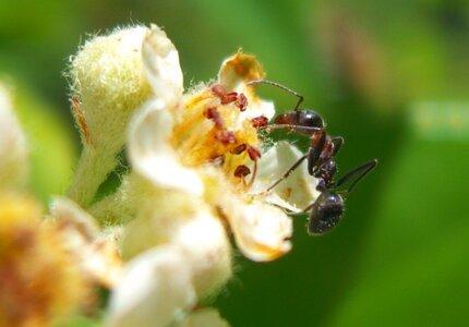 flower ant ii.jpg