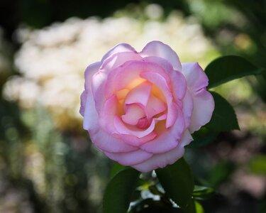 rose_CanM6ii_15to85_Jul21.jpg
