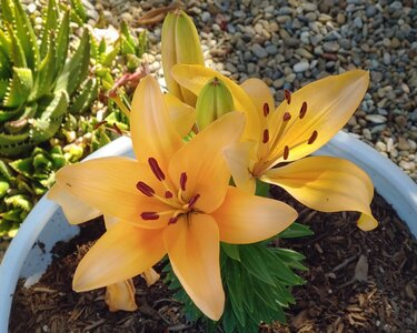 lilies_yellow_LGV40_Jul21_smaller.jpg