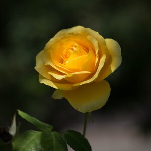 rose_yellow_Can6D_L70to300_Jul21.jpg