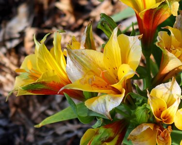 plilies_yellow_Can80D_18-55mm_Sept21.jpg