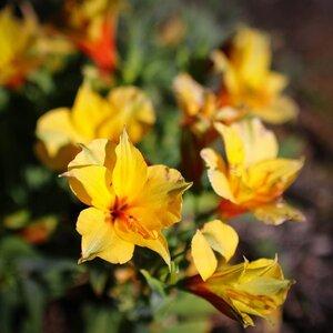 yellow_lilies_Can80D_Sig30_Sept21_smaller.jpg