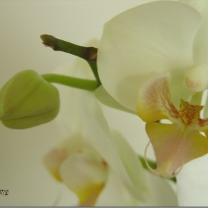 Orchid & bud.