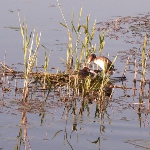 Great Crested Grebes at nest