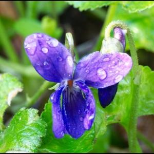Violet with 45mm, f/2.8 Leica DG Macro-Elmarit