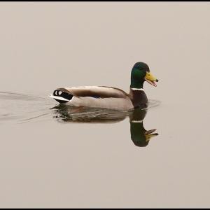 reflective Mallard