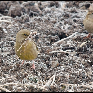 female Greenfinch with nesting material, female House Sparrow in the  backg