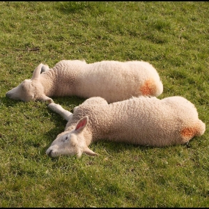 Two tired lambs