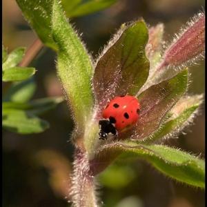 A hidden ladybird