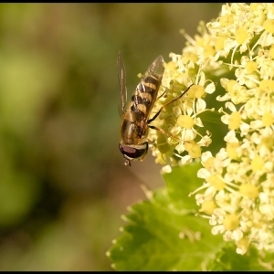 Hoverfly on Alexanders