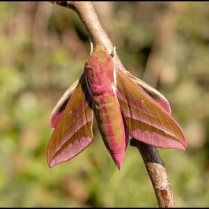 Elephant Hawk Moth, newly emerged from the pupa