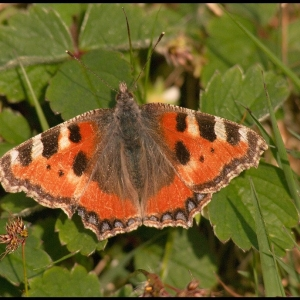 Small Tortiseshell butterfly