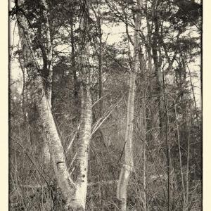 Birch-