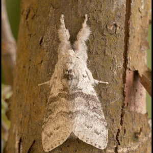 male Pale Tussock moth