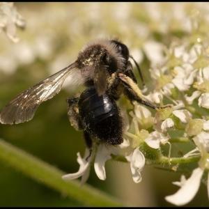 bee feeding on umbelifor flowers