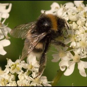 Bumble Bee on Hogweed