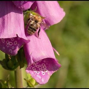 Bumble Bee at Foxglove