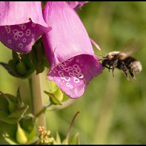 Bumble Bee arriving at Foxglove