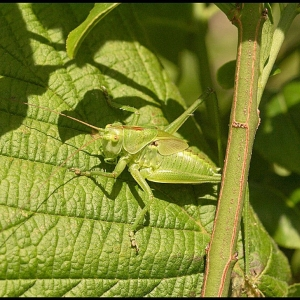 nymph of a Great Green Bush-cricket