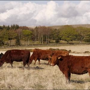 Quietly grazing on the moor