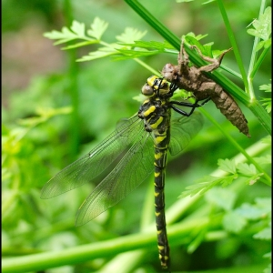 newly emerged Golden-ringed Dragonfly