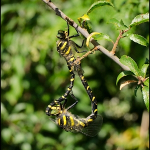 mated pair of Golden-ringed Dragonflies
