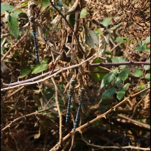 male Migrant Hawker Dragonflies