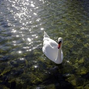 SIJ 1 Swan Lake