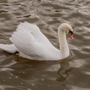 SiJ day 11 Swan