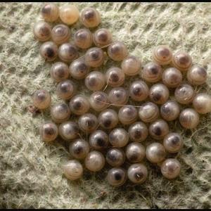 moth eggs (White Ermine?)