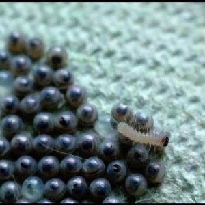 hatching White Ermine caterpillars
