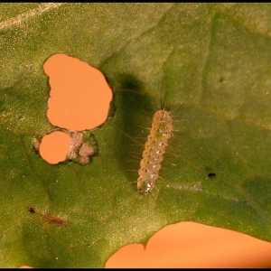 White Ermine moth larva 3 days after hatching from the egg