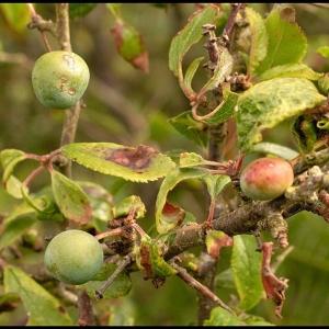 fruits of Blackthorn (Sloe)
