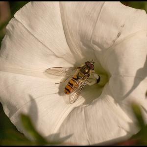 Marmalade Hoverfly feeding on Bindweed pollen