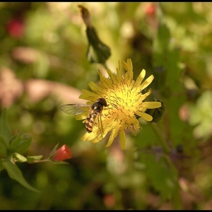 Smooth Sow Thistle?