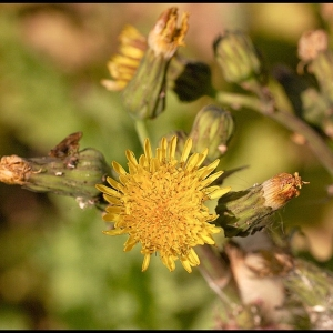 Prickly Sow Thistle?