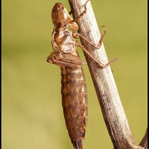 Emperor Dragonfly exuvia