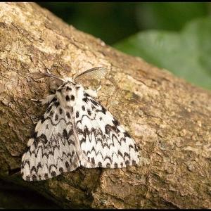 male Black Arches moth