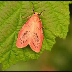 Rosy Footman moth