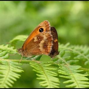 mating pair of Hedge Brown butterflies