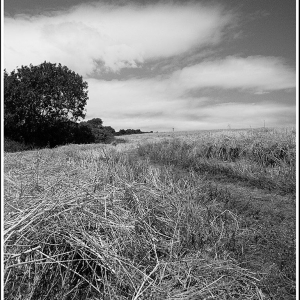 the chaff and stalks remain