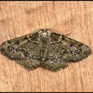 Brussels Lace moth