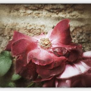 Snapseed Rose