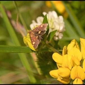 a small micro moth