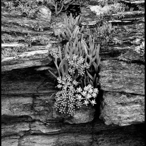 Rock Samphire growing in a rock crevice