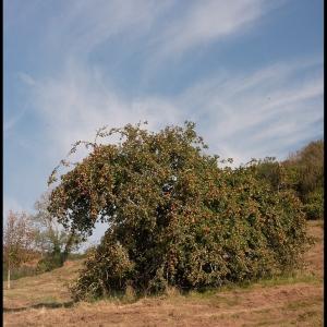 Old cider apple tree