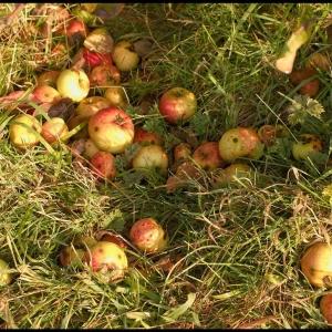 Cider apples (windfalls)