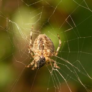 Spider, probably a Garden Spider