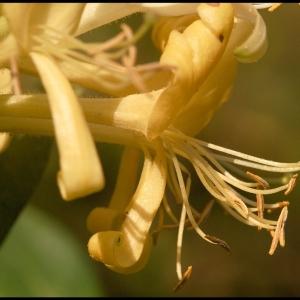 Honeysuckle (closer detail)