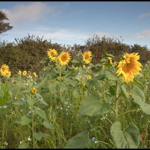 more Sunflowers now in bloom